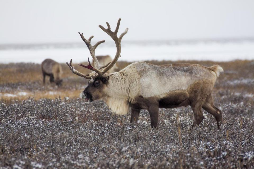 "In this photo taken on Tuesday, Oct. 25, 2016, reindeer pasture in the Yamal region, Russia. The indigenous reindeer herders in Russia's northern Yamal Region, a remote section of Siberia where winter temperatures can sink below minus 50 degrees Celsius, are facing a man-made threat as officials push ahead with an unprecedented culling that calls for at least one in seven of the Yamal's reindeer to be slaughtered. Regional government spokeswoman Olesya Litovskikh denied the oil and gas industry lobbied for increased culling. Energy companies spend ""billions of rubles"" developing far-flung areas and supporting Nenets culture, Litovskikh said. (AP Photo/Igor Novikov)"