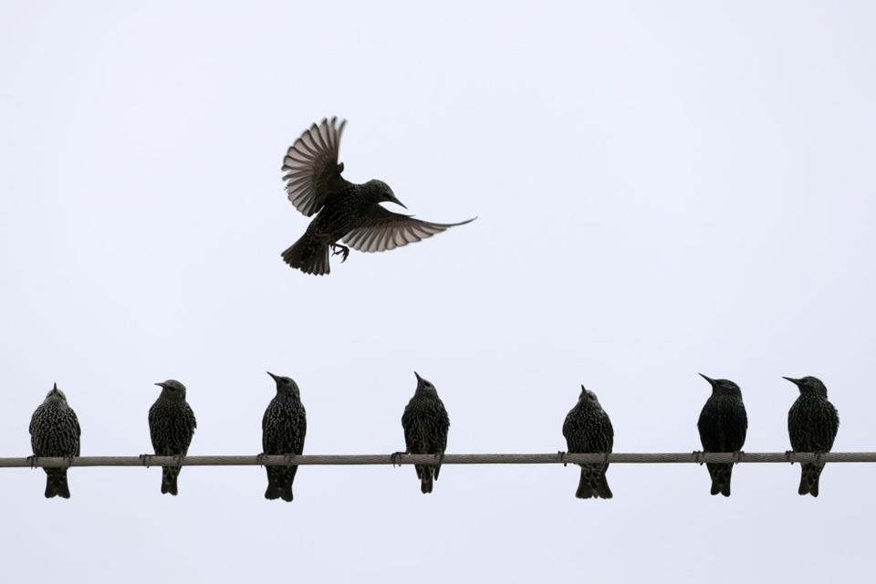 Starling Poisoning Alarms Citizens The Boston Globe