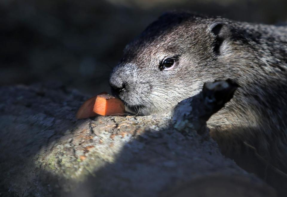 'The Official Groundhog Of The Commonwealth,' Ms. G, Sees
