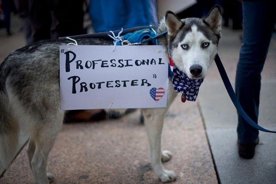 Sherman, a Siberian Husky, joined protesters demonstrating against President Trump on Nov. 13 in Philadelphia.