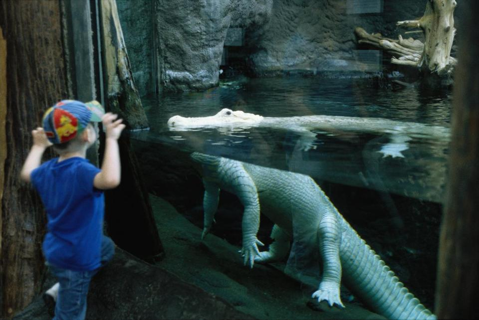 A young boy tries to scare an albino alligator in New Orleans' Aquarium of the Americas. Albino alligators are extremely rare, lacking skin pigment because of a genetic anomaly.
