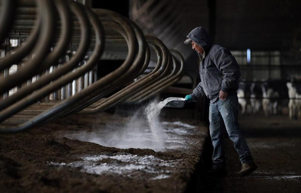 Hugo, 22, a Guatemalan immigrant worker, spread lime while preparing fresh bedding for the cows at Stein Family Farms in Caledonia, N.Y.
