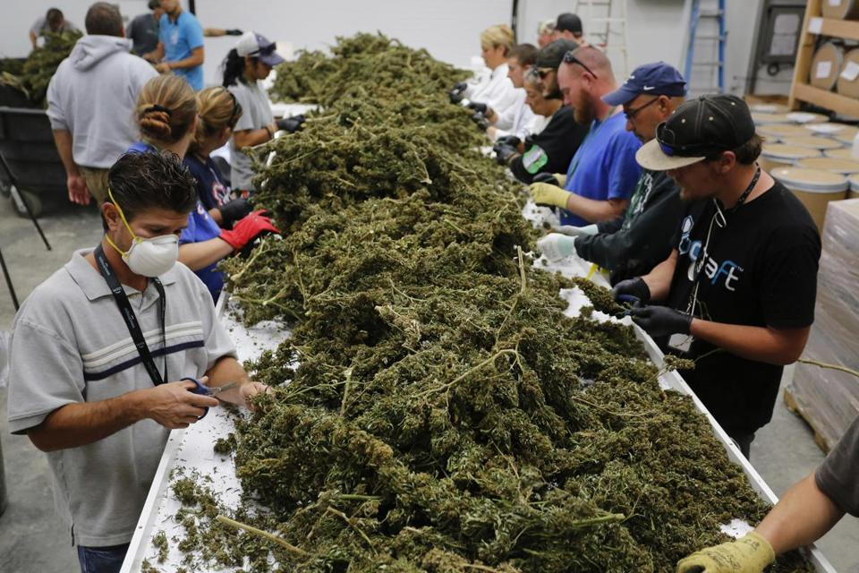 Last October, farmworkers removed stems and leaves from newly-harvested marijuana plants, at Los Suenos Farms in Colorado.
