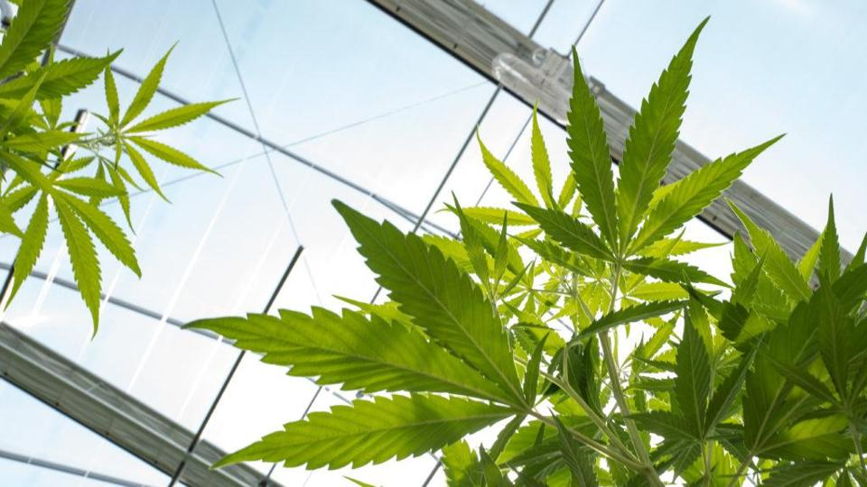 JOHNSTOWN, NY - AUGUST 19: Cannabis plants grow in the greenhouse at Vireo Health's medical marijuana cultivation facility, August 19, 2016 in Johnstown, New York. New York state lawmakers voted to legalize marijuana for medical use in 2014 and the law took effect in January 2016. Currently, five organizations are allowed to grow and sell the drug for medical use in the state. New York's new law only allows people with 'severe debilitating or life threatening conditions' to obtain marijuana for medical use. (Photo by Drew Angerer/Getty Images)