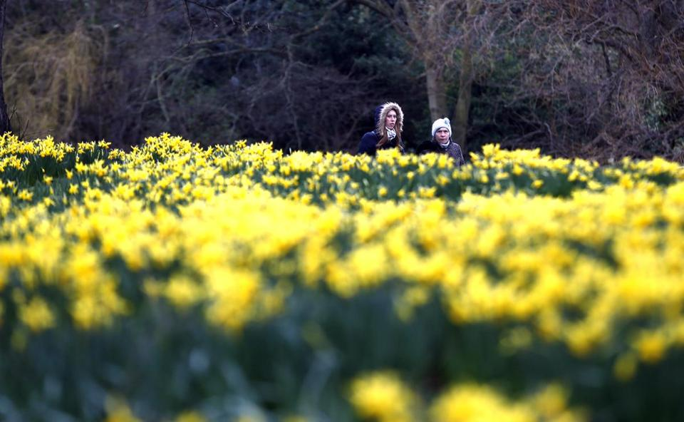 Tourists wrapped up against the cold and light rain look at sea of daffodils blooming in Hyde Park in London, Wednesday, March 1, 2017. Wednesday is the first day of meteorological Spring. Astronomical seasons refer to the position of Earth's orbit in relation to the sun taking into account equinoxes and solstices. Meteorological seasons are instead based on the annual temperature cycle and measure the meteorological state as well as coinciding with the calendar to determine a clear transition between the seasons.(AP Photo/Alastair Grant)