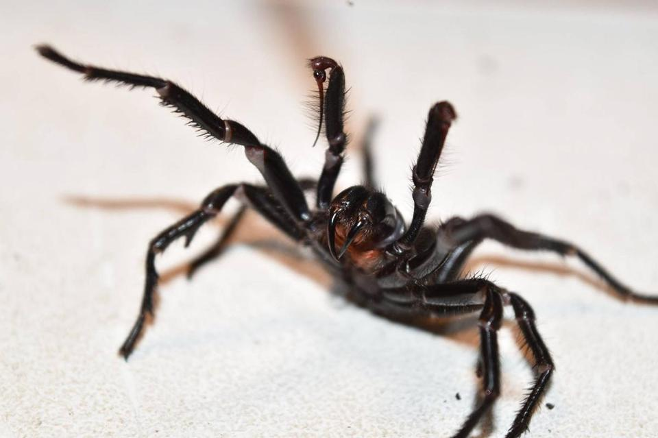 spiders are everywhere and they could eat all of us in just one