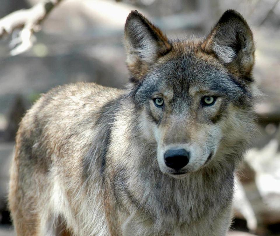 Gray wolves in Minnesota, Wisconsin, and Michigan could find themselves in the cross-hairs of hunters once again.