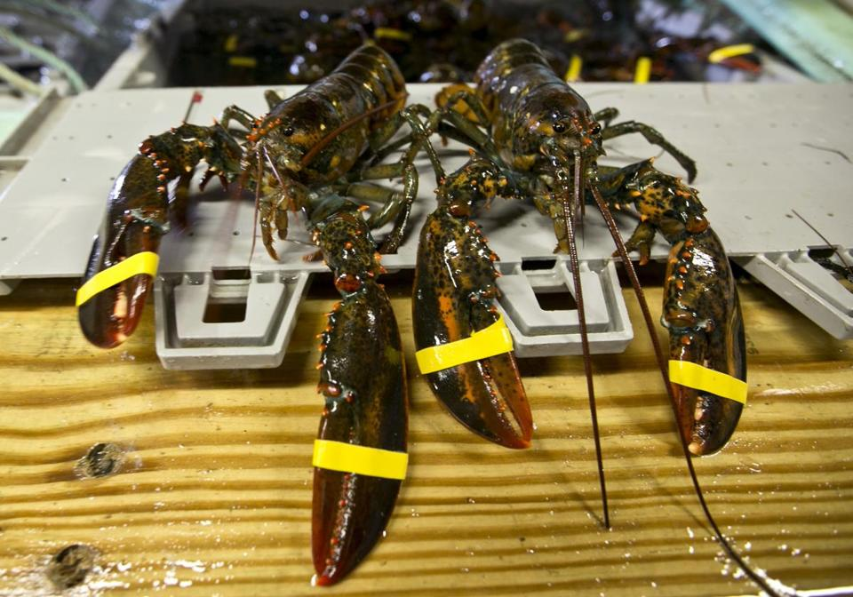 Landings of lobster in the Gulf of Maine have hit recordbreaking highs, the number of young lobsters appears to be declining, and marine scientists are trying to figure out why.