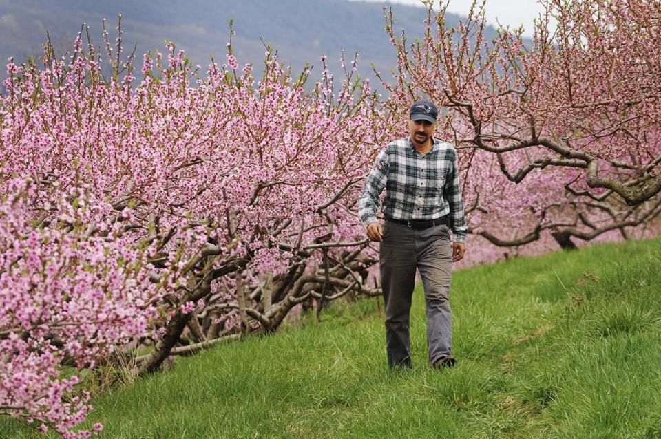 Ben Clark walked among peach trees in full bloom at Clarkdale Orchards in Deerfield, Mass. last month.