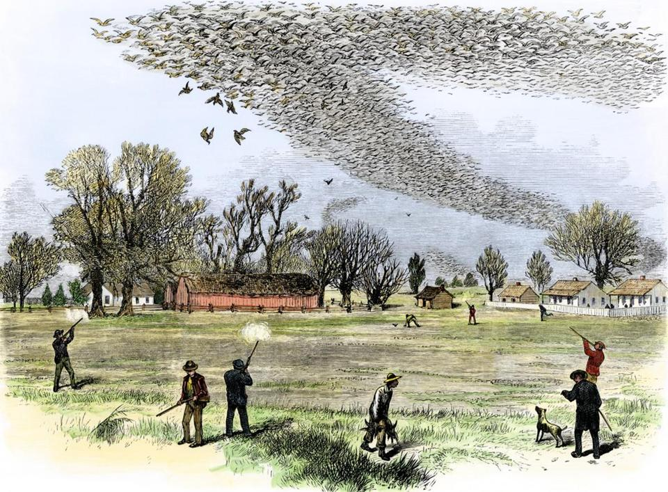 English: Passenger pigeon flock being hunted in Louisiana. The Illustrated Shooting and Dramatic News. 3 July 1875, Illustrated Sporting and Dramatic News (public domain)