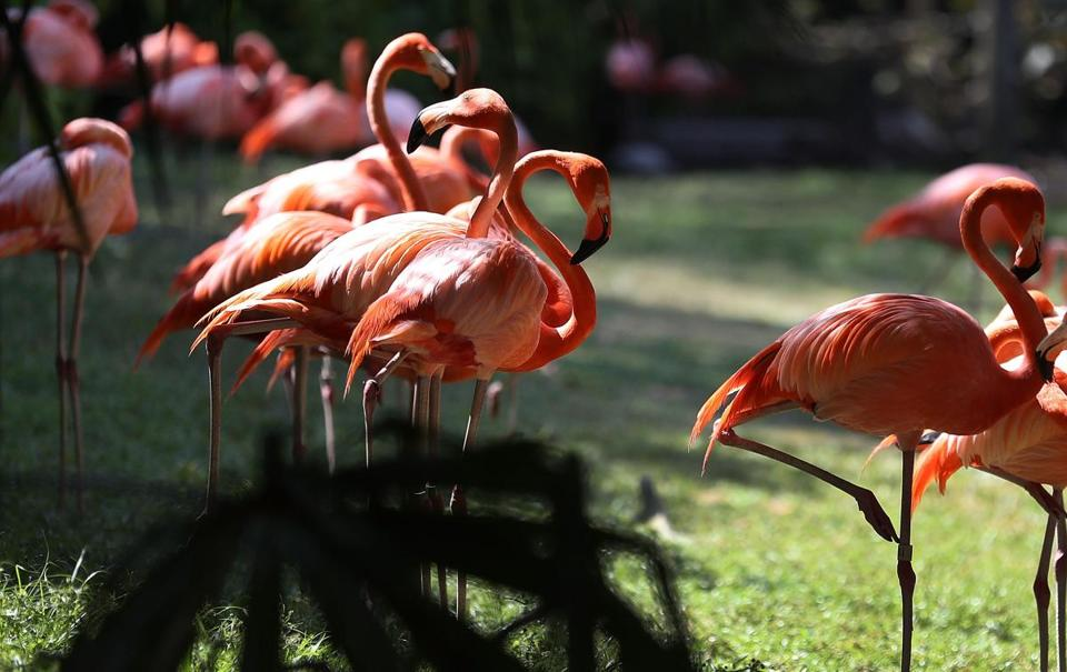 Dead flamingo reveals secret of sleeping on one leg - The Boston Globe