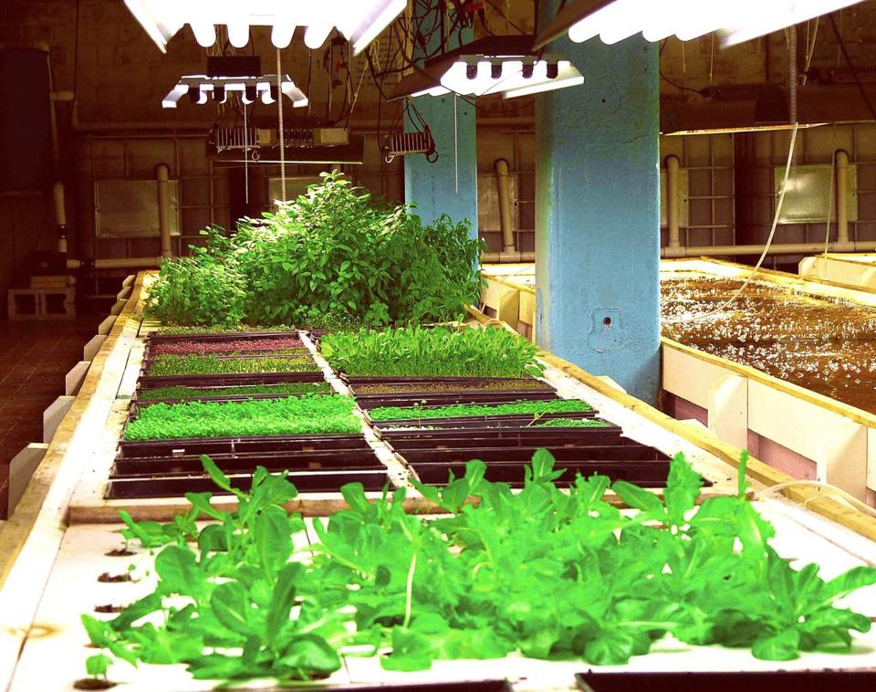 The indoor urban aquaponics farm at FoodChain in Lexington, Ky.