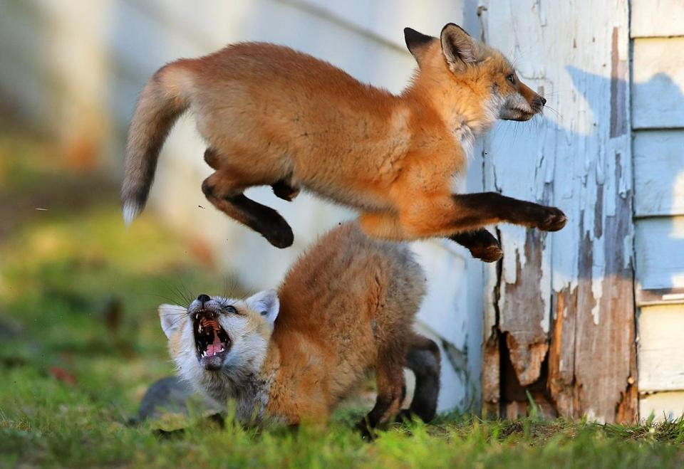 A fox playfully jumped over a sibling at the entrance to their den under the building.