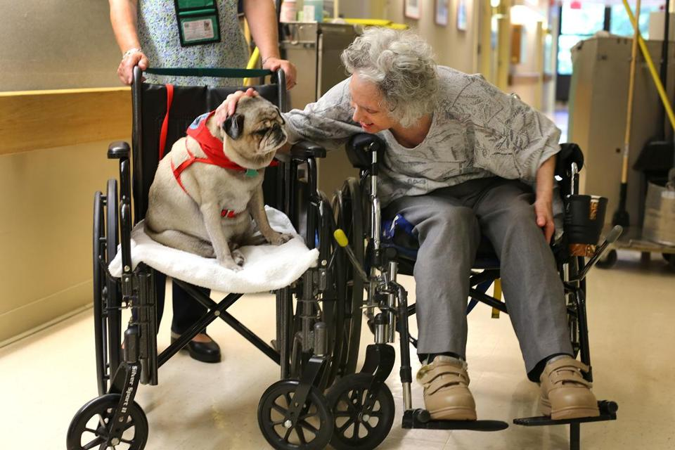 Judy Friedman, a patient at Hebrew SeniorLife, petted a 33-pound pet therapy pug, Charlie in a wheelchair.