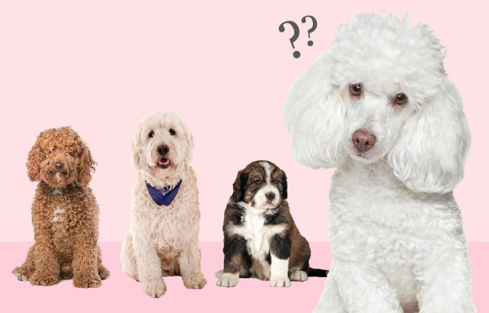 the poodle people are peeved the boston globe