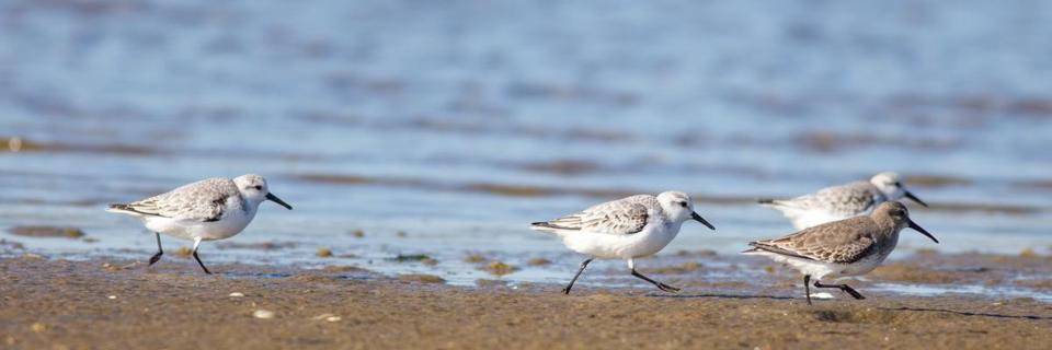A dunlin and sanderlings on South Beach in Chatham.