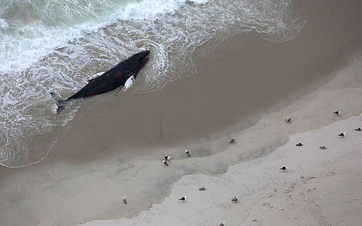 A humpback whale washed up on the beach and died off of Cape Cod.