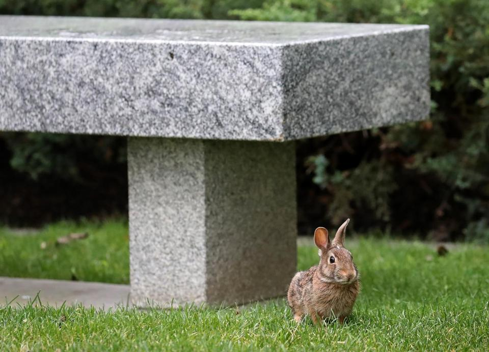 A rabbit near the State House.