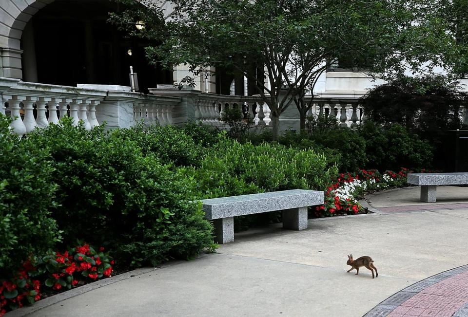 A rabbit ran across the sidewalk at the State House.