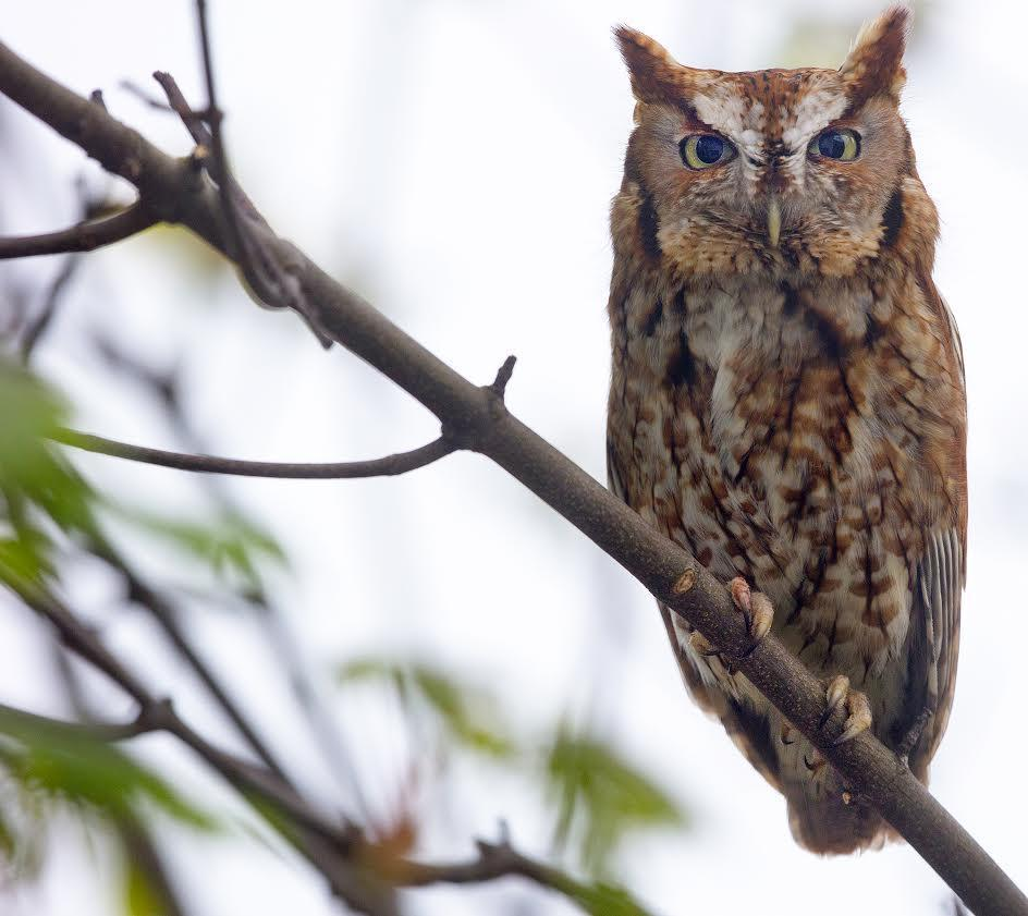 A Screech owl poses in a tree that is also home to other birds and squirrels in Stan Grossfeld's yard.
