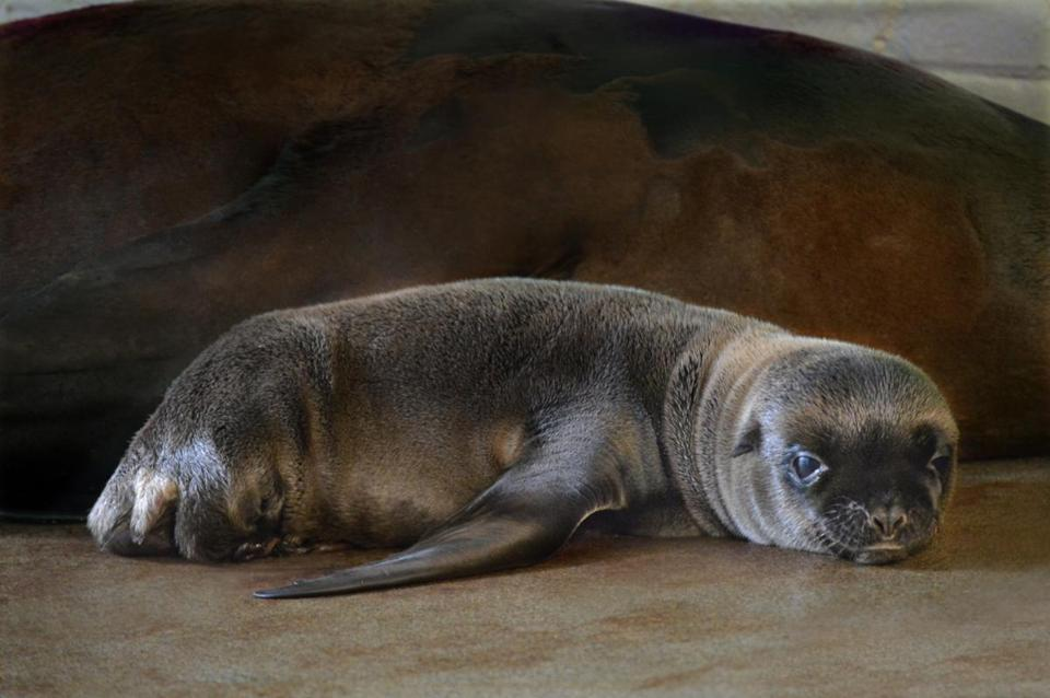 Ron, the newest California sea lion pup at the New England Aquarium.