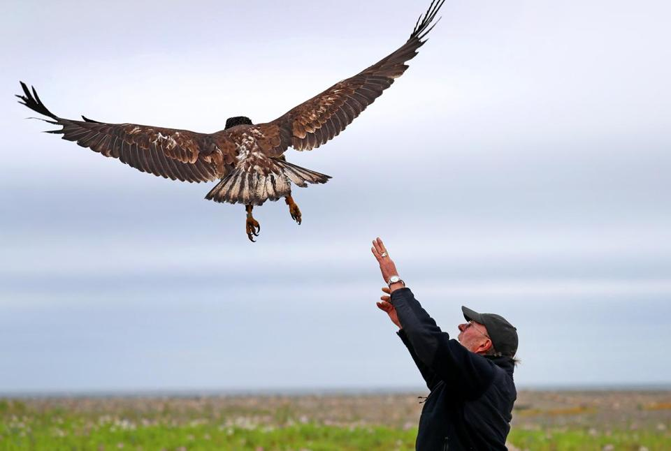 Bald Eagle Makes Flight To Freedom In Winthrop The Boston Globe