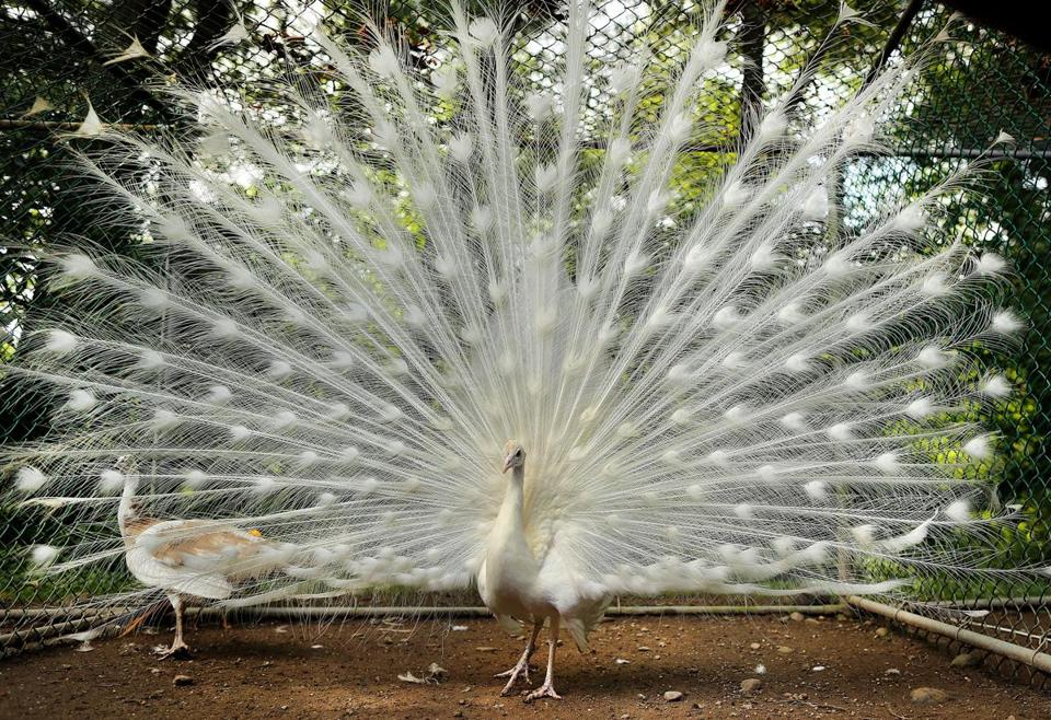 East Bridgewater-07/18/2017 A white peacock at Bill Benner's homestead that is taken care of by Tyler Dalton, who started a business after he graduated from South Shore Charter School called Roosts to Ranches in which he takes care of peoples animals when they are away. John Tlumacki/Globe Staff(south)