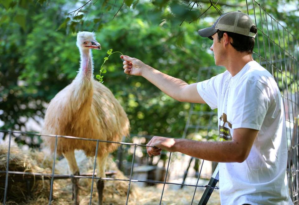 East Bridgewater-07/18/2017 Tyler Dalton started a business after he graduated from South Shore Charter School called Roosts to Ranches in which he takes care of peoples animals when they are away. He feeds an emu at Bill Benner's homestead. John Tlumacki/Globe Staff(south)