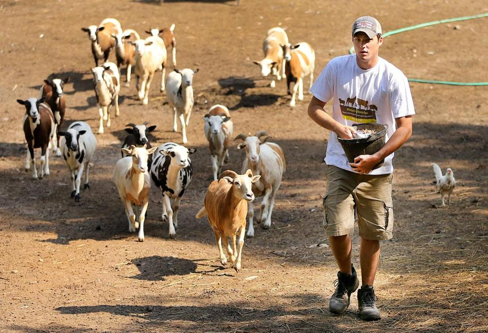 East Bridgewater-07/18/2017 Painted desert sheep at Bill Benner's homestead follow Tyler Dalton as he brings their food into their pen. He,started a business after he graduated from South Shore Charter School called Roosts to Ranches in which he takes care of peoples animals when they are away. John Tlumacki/Globe Staff(south)