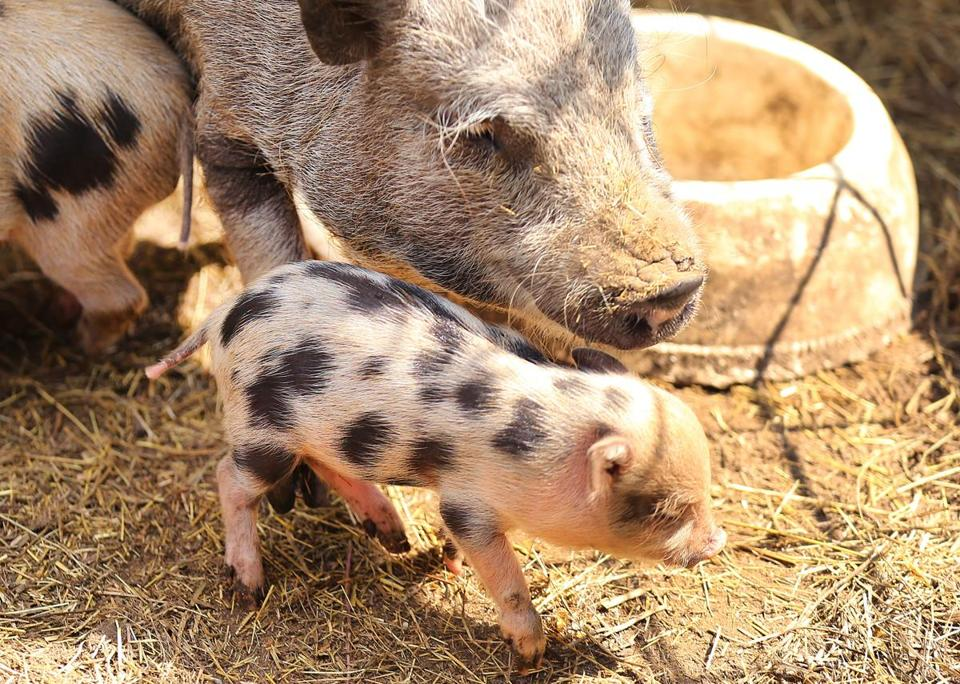 East Bridgewater-07/18/2017 A baby pig at Bill Benner's homestead that is taken care of by Tyler Dalton, who started a business after he graduated from South Shore Charter School called Roosts to Ranches in which he takes care of peoples animals when they are away. John Tlumacki/Globe Staff(south)