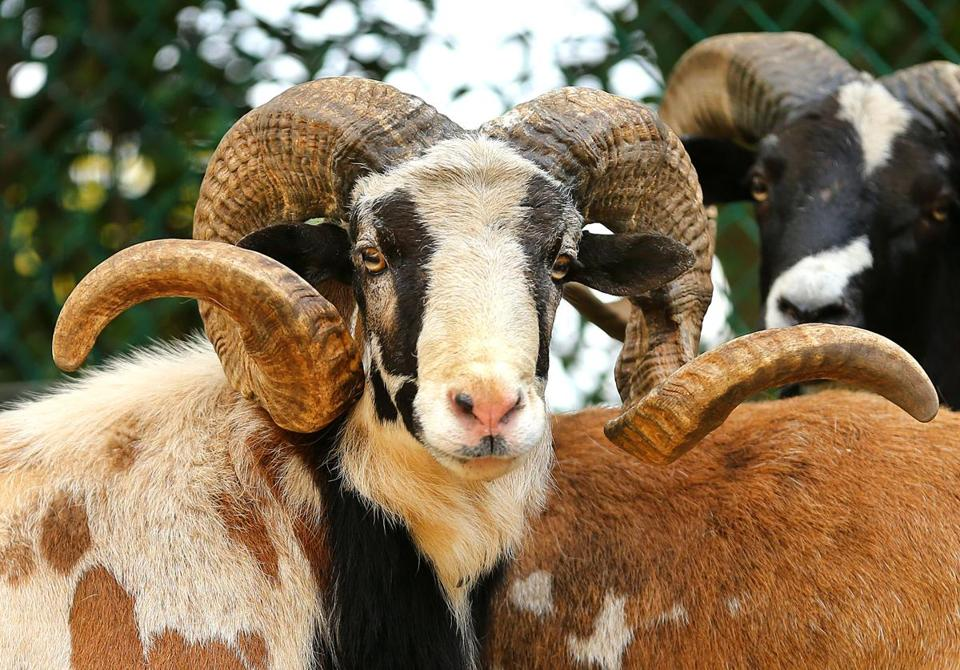 East Bridgewater-07/18/2017 A male painted desert sheep with curled horns at Bill Benner's homestead that is taken care of by Tyler Dalton, who started a business after he graduated from South Shore Charter School called Roosts to Ranches in which he takes care of peoples animals when they are away. John Tlumacki/Globe Staff(south)