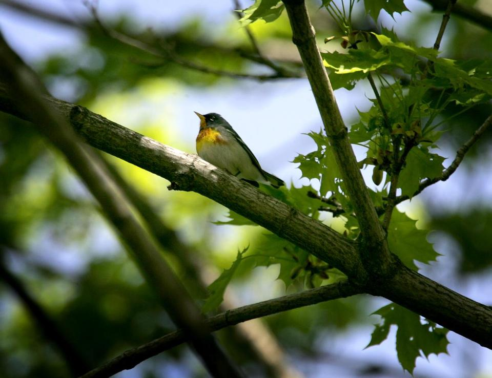 A Northern parula at Mass Audubon's Boston Nature Center and Wildlife Sanctuary.