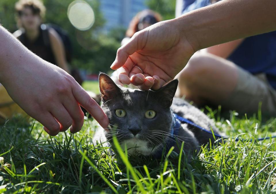 Boston, MA -- 8/6/2017 - Kiki Porcello, 3, of Beverly lays in the grass as people pet her during the first Caturday gathering of cats, their owners and cat lovers on Boston Common. The event had to be moved from Saturday because of the weather thus ruining the pun. (Jessica Rinaldi/Globe Staff) Topic: 07cats Reporter: