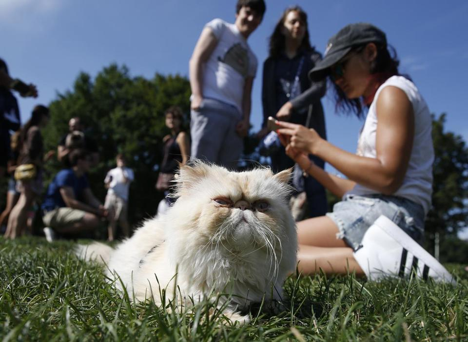 Boston, MA -- 8/6/2017 - General Mao of Boston keeps a watchful eye on the proceedings during the first Caturday gathering of cats, their owners and cat lovers on Boston Common. The event had to be moved from Saturday because of the weather thus ruining the pun. (Jessica Rinaldi/Globe Staff) Topic: 07cats Reporter: