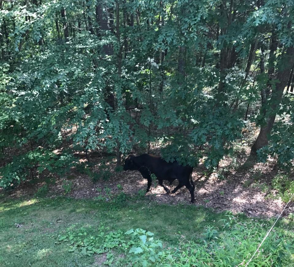 A bull that got loose in Littleton lspent several days on the run.