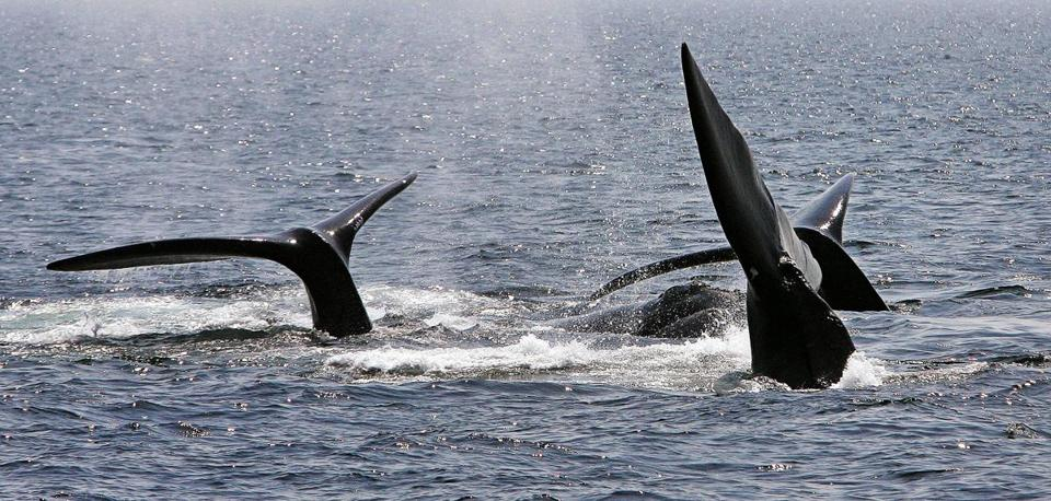 Three North Atlantic right whales off the coast of Provincetown in 2008.