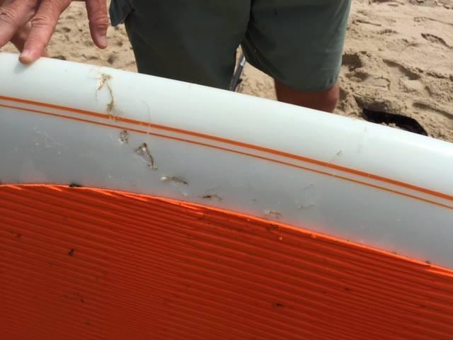 According to the Cape Cod National Seashore, a shark bit into a standup paddleboard around 10 a.m.