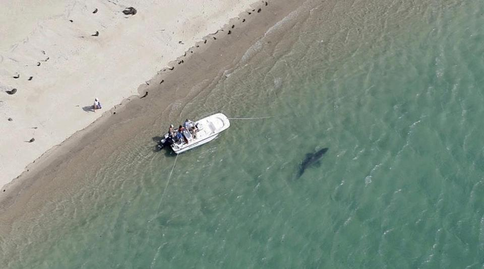 A great white shark swam close to the Cape Cod shore in Chatham, Mass.