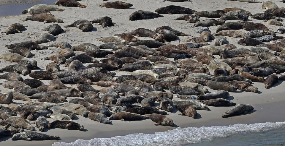 The number of seals residing in the waters off the state's coast is probably as high as 50,000, based on recent research.
