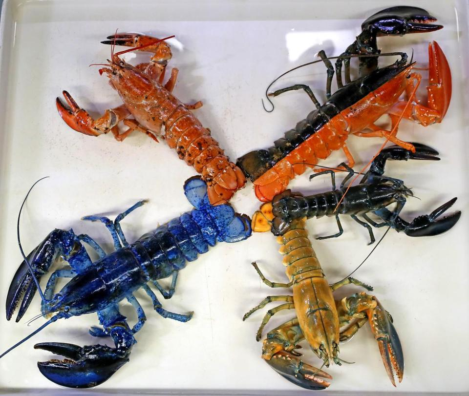 Lobsters at the New England Aquarium in rare colors with the newest addition, a yellow one donated by Patriot Seafoods of Salem.