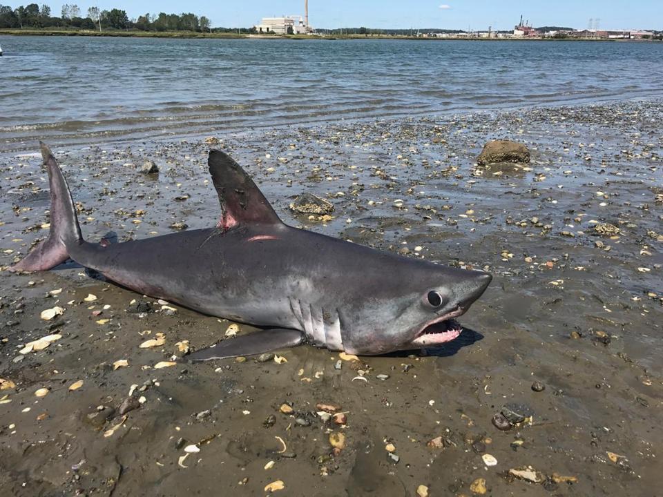 dead shark washes up on revere beach the boston globe