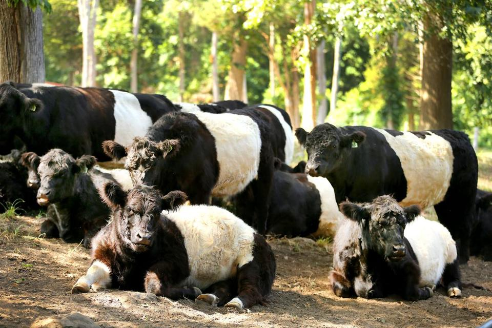Hingham-09/02/17-Weir River farm sold meat through the Communtiy Supported Agriculture program Saturday (9/02). The Belted Galloways will be slaughted. John Tlumacki/Globe Staff(regional)