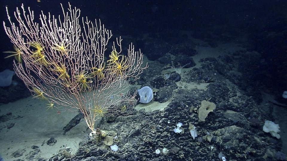 FILE - This undated file photo released by the National Oceanic and Atmospheric Administration made during the Northeast U.S. Canyons Expedition 2013, shows corals on Mytilus Seamount off the coast of New England in the North Atlantic Ocean. Environmentalists and fishing groups said Thursday, Aug 24, 2017, that they are prepared for a legal battle in the wake of Interior Secretary Ryan Zinke's decision to preserve the nation's first Atlantic Ocean marine monument. President Barack Obama designated Northeast Canyons and Seamounts Marine National Monument a little less than a year ago. (NOAA Office of Ocean Exploration and Research via AP, File)