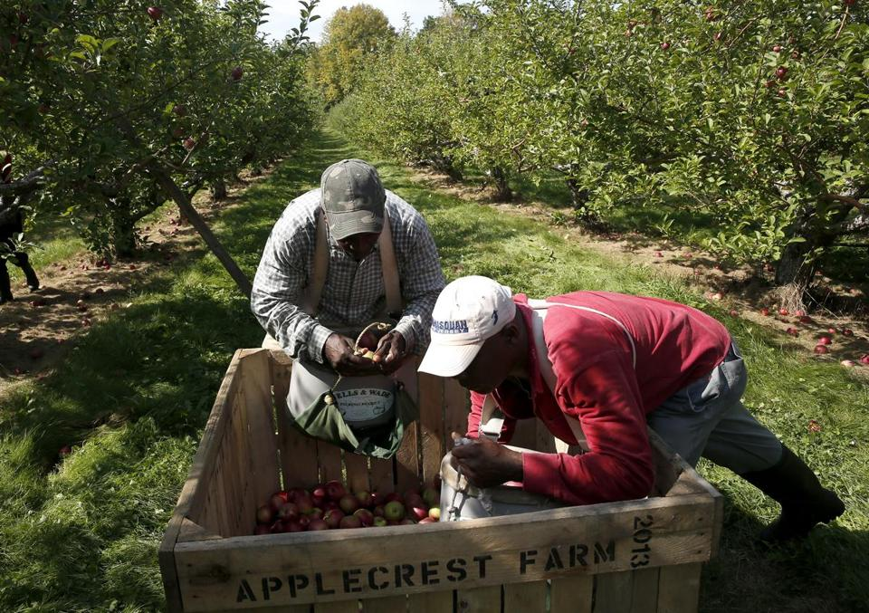Anthony Gardener (left) and Audley Butler unloaded apples.