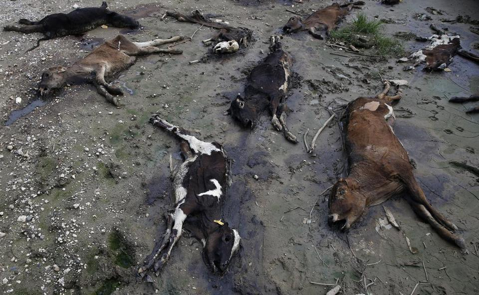 Calves who died in Hurricane Maria decompose in a field at the Ortiz Rodriguez Dairy Farm.