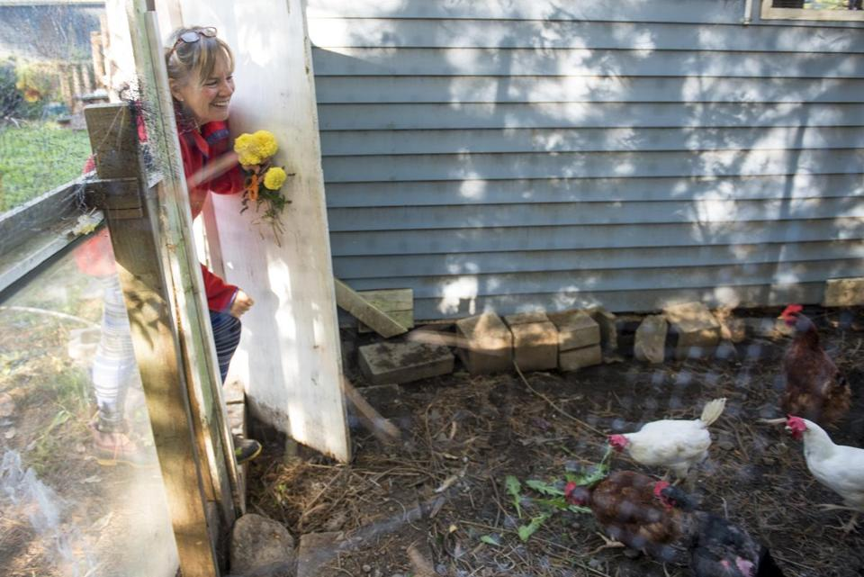 Berlin, MA – 10/12/17 – Liz Dichiara, 57, feeds the community's chickens while showing the photographer her co-housing community at Camelot Cohousing on Thursday, Oct. About a year ago, after selling her three-bedroom home in Sharon, Liz Dichiara, 57, retired, divorced, and the mother of two adult children, moved to the development and has only good things to say.12, 2017. Nicholas Pfosi for the Boston Globe Topic: 12zoemptynestwest 8.3.3984620784