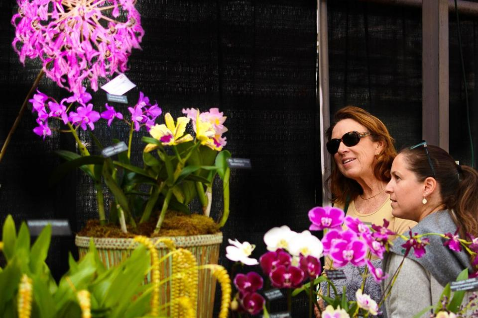 There's nothing like the striking color of orchids to brighten up a November day. (Massachusetts Orchid Society)