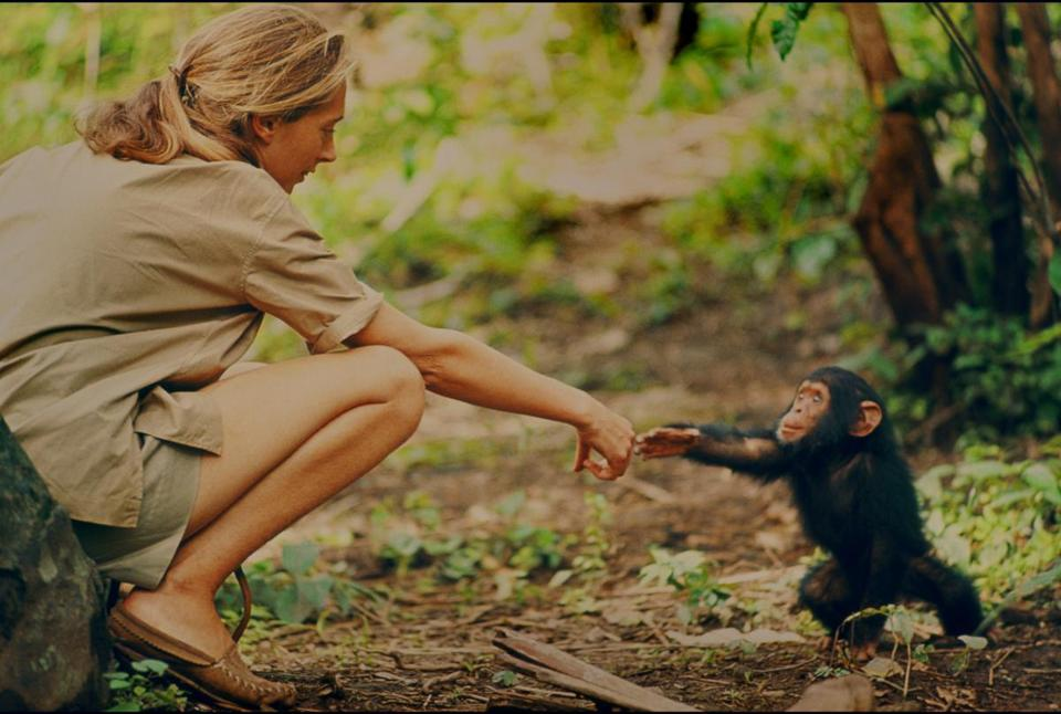 "An undated photo of Jane Goodall in the Gombe jungle in Tanzania, with an infant chimp she named Flint, from Brett Morgen's film ""Jane."""