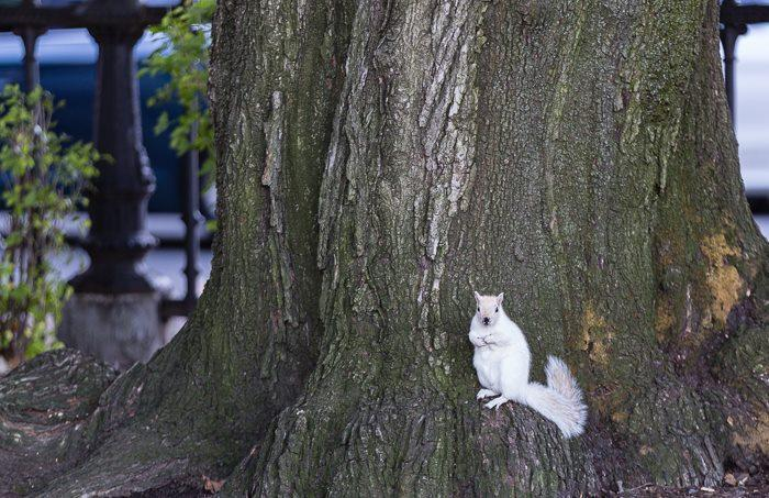 White squirrel spotted at Public Garden.