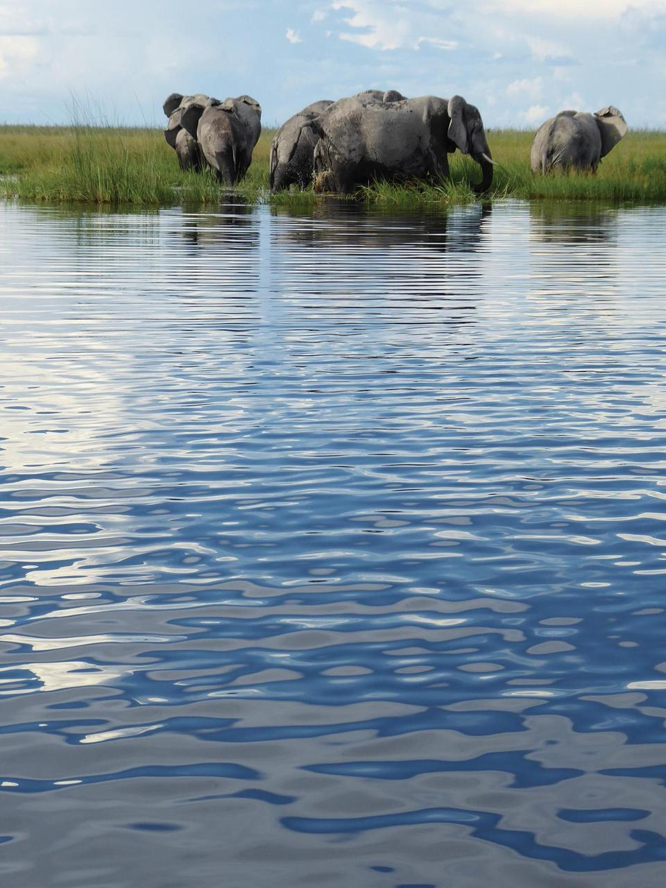 One of Botswana's many free-roaming elephant herds prepares to cross a channel in the private Linyanti Wildlife Reserve in northern Botswana, near the Namibia border.
